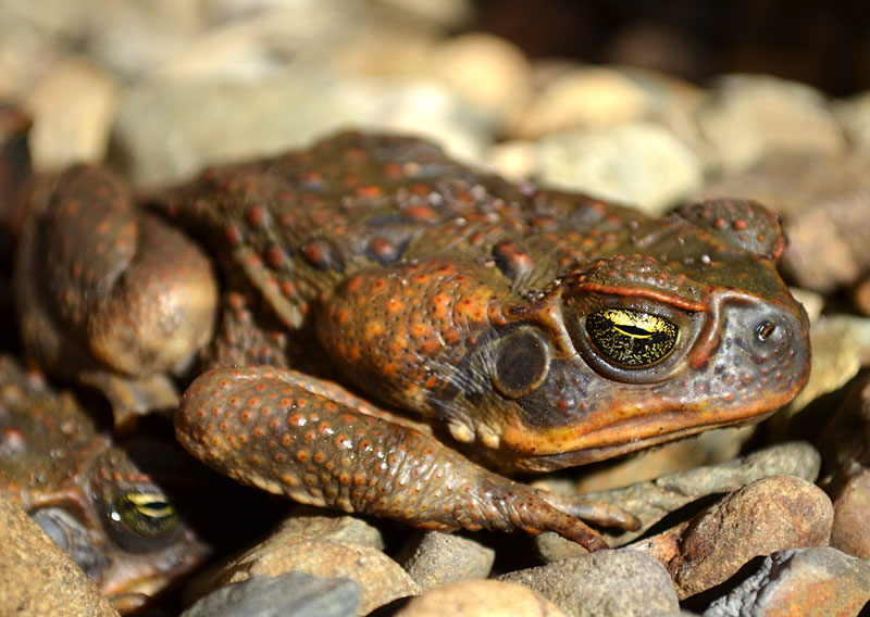 a research on the australian cane toad In this study, the researchers tested the effect, essentially setting up a cane toad race radio tags allowed the scientists to track the toads dr ben phillips from james cook.